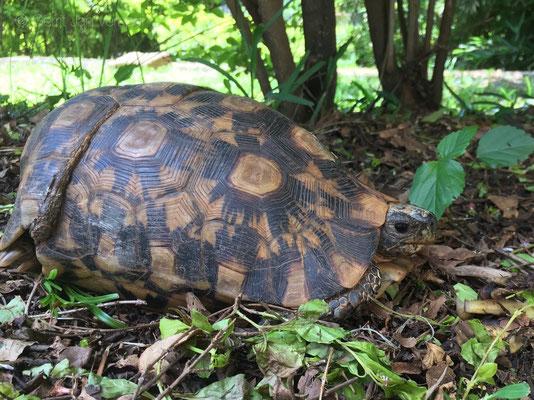 Bell's Hinged Tortoises - Kinixys belliana