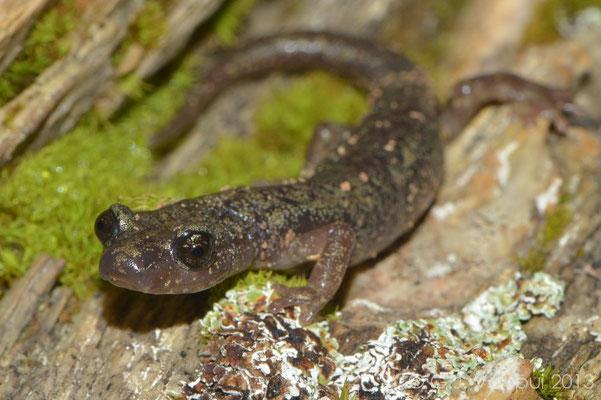 Gené's Cave Salamander - Speleomantes genei  subsp. B    In Situ