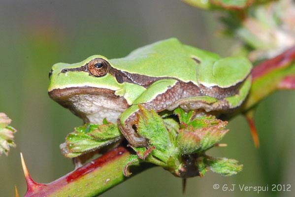 Iberian Tree Frog - Hyla molleri