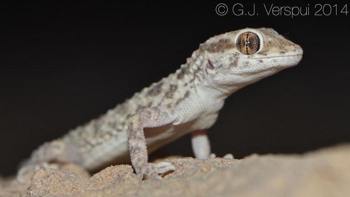 Baiuch Rock Gecko - Bunopus tuberculatus, In Situ