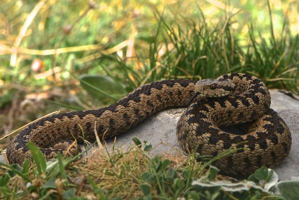 Vipera graeca (Male)
