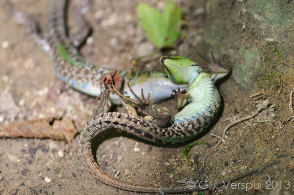 Italian Wall Lizard fight