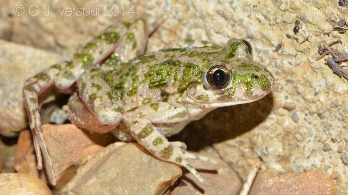 Yoga loving Parsley Frog - Pelodytes punctatus, In Situ
