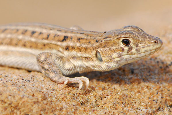 Spiny-footed Lizard - Acanthodactylus erythrurus