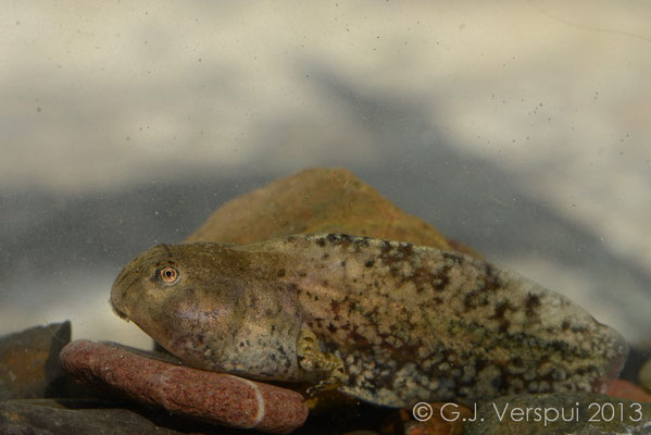 Yellow-bellied Toad - Bombina variegata (tadpole)