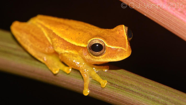 Dendropsophus microcephalus, In Situ