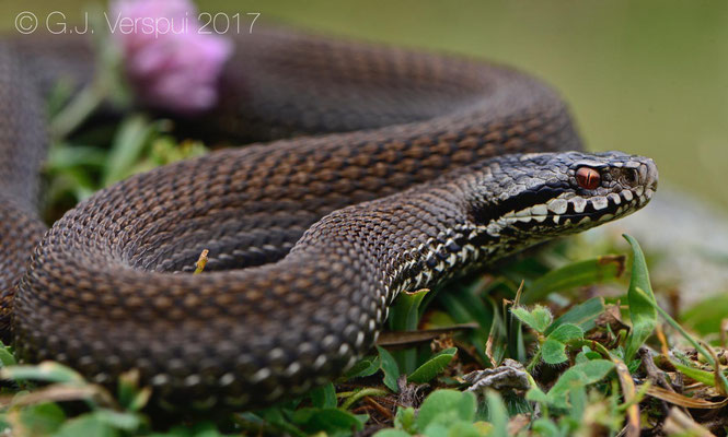 Male uniform colored Vipera seoanei