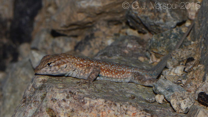 Common Side-blotched Lizard (Uta stansburiana)