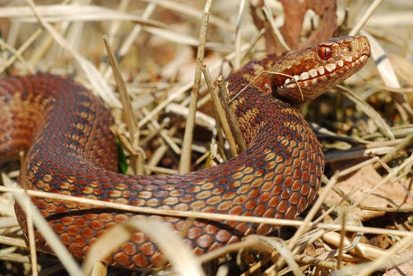 Vipera berus, Drenthe, The Netherlands, April 2008