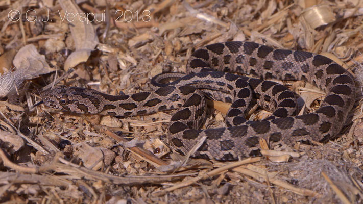 Coin-marked Snake - Hemorrhois nummifer