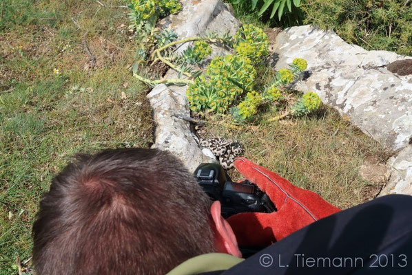 Photographing the Nose-horned Viper.  © Laura Tiemann