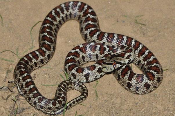 Leopard Snake - Zamenis Situla