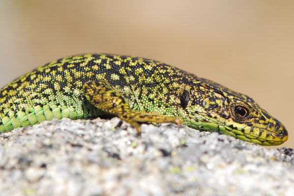 Cyren's Rock Lizard - Iberolacerta cyreni (male)