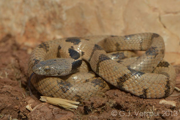 Cat Snake - Telescopus fallax syriacus, Israel, October 2013