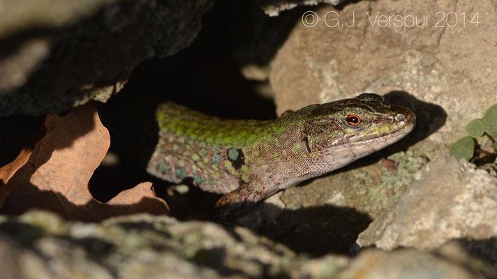 Italian Wall Lizard - Podarcis siculus