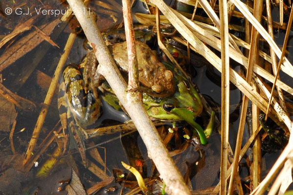 Common Toad doing the wild thing with an Edible Frog.   In Situ