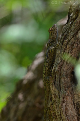 Sceloporus clarkii