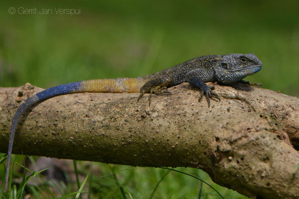 Blue-headed Tree Agama - Acanthocercus atricollis