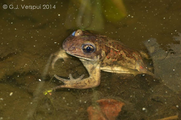 1st Common Spadefoot Toad - Pelobates fuscus, In Situ