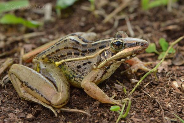 Nile Grass Frog - Ptychadena nilotica