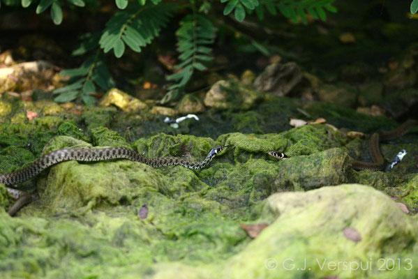 Grass Snakes meeting - Natrix natrix  In Situ
