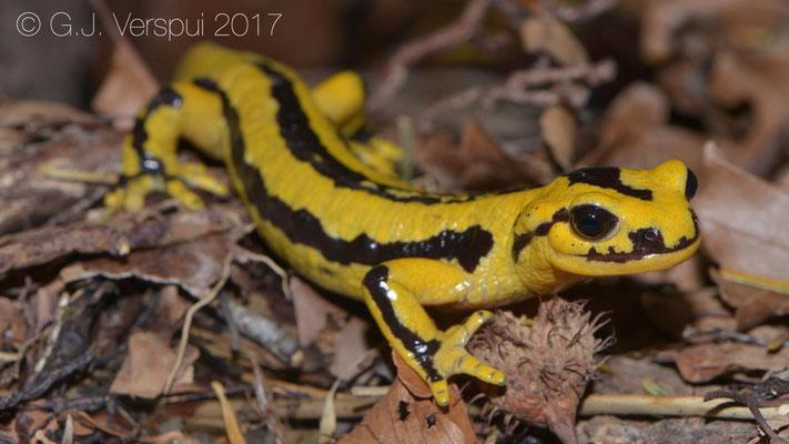 Salamandra salamandra fastuosa, in situ