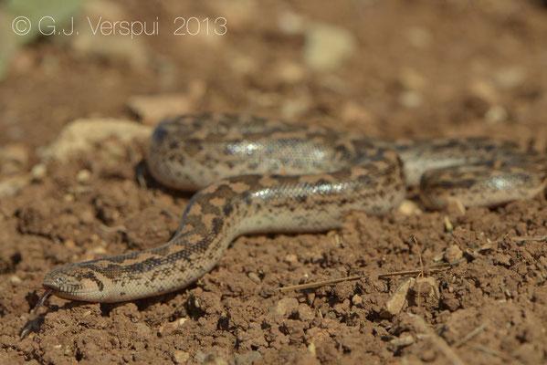Sand Boa - Eryx jaculus