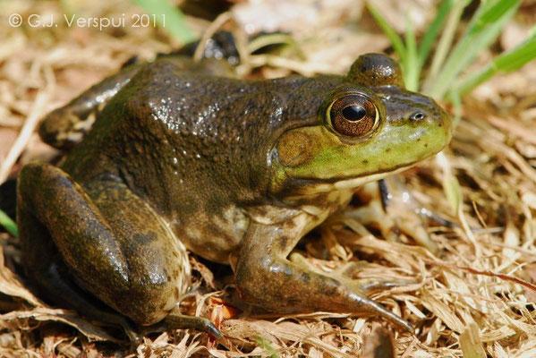 American Bull Frog  - Lithobates catesbeianus