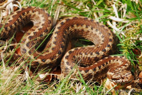 First Seoane's Viper - Vipera seoanei seoanei