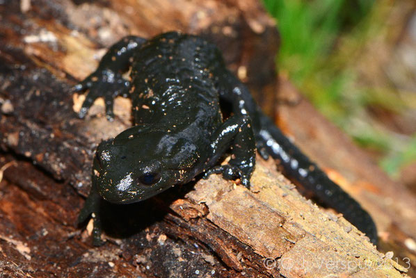 Alpine Salamander - Salamandra Atra prenjensis
