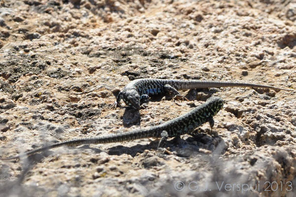 Milos Wall Lizard - Podarcis milensis (males fighting)