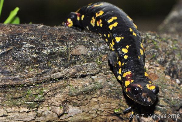 Fire Salamander - Salamandra salamandra morenica, thanks to Juan Pablo Gonzalez Vega