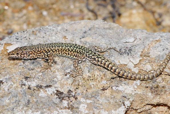 Iberian Wall Lizard - Podarcis hispanicus - morphotype 1A