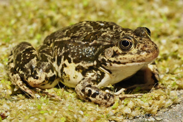 Milos Water Frog - Pelophylax species..