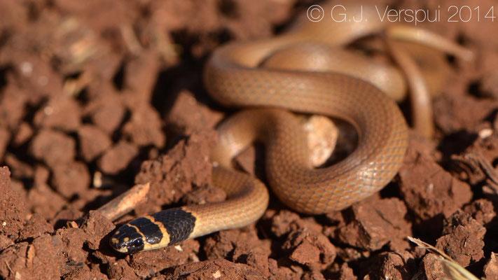 Roth's Dwarf Snake - Eirenis rothi