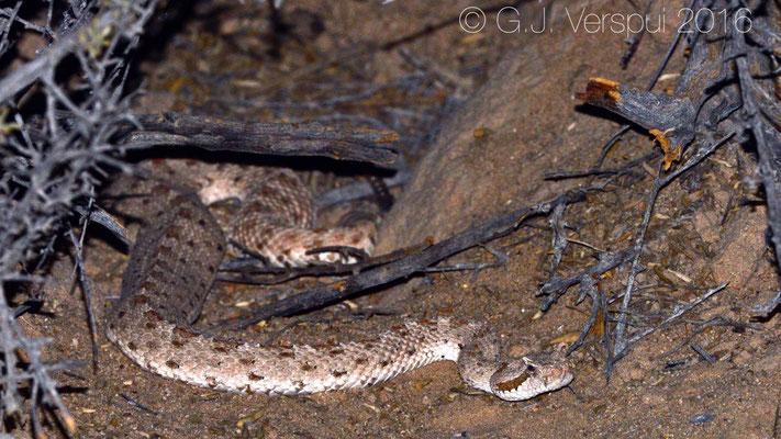 Sidewinder (Crotalus cerastes) In Situ