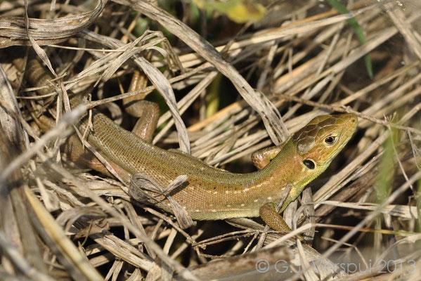 Eastern Green Lizard - Lacerta viridis (juvenile)