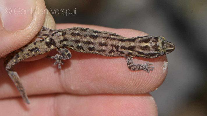 Sphaerodactylus sputator