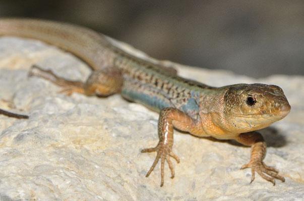 Peloponnese Wall Lizard - Podarcis peloponnesiacus