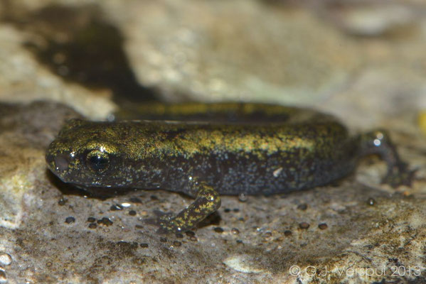 Gené's Cave Salamander - Speleomantes genei  subsp. B    juvenile