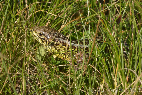 First Sand Lizard - Lacerta agilis bosnica