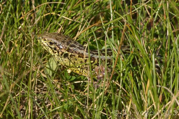 First Sand Lizard - Lacerta agilis bosnica