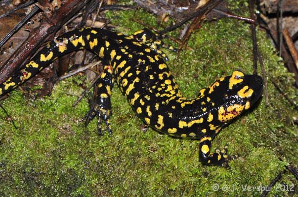 Fire Salamander - Salamandra salamandra crespoi