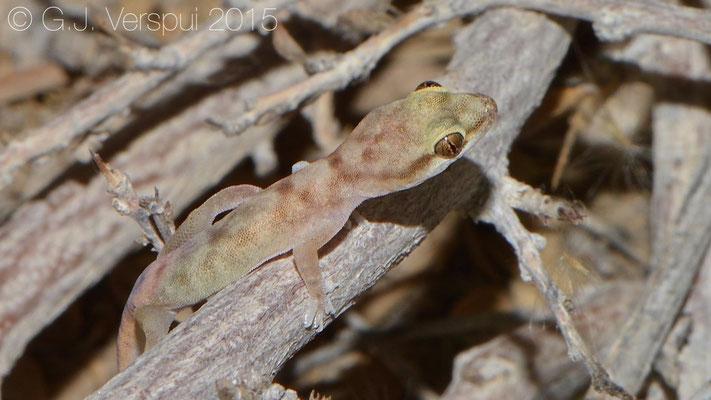 Hemidactylus minutus, In Situ