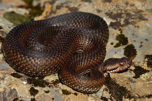 Vipera aspis 'atra', French Alpes, August 2016