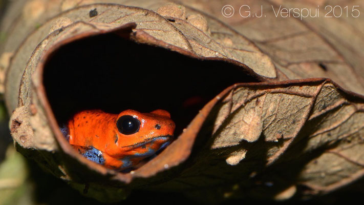 Oophaga pumilio, In Situ