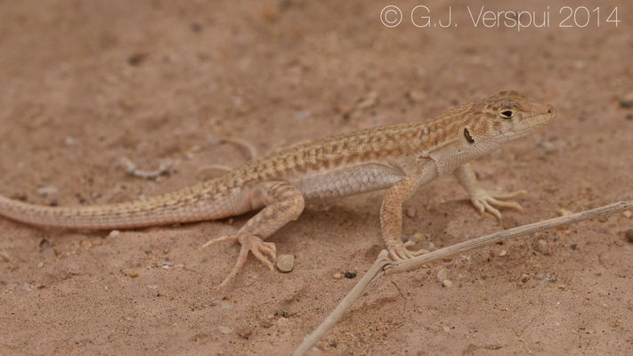 Arnold's Fringe-Fingered Lizard - Acanthodactylus opheodurus  (or Bosk's), In Situ