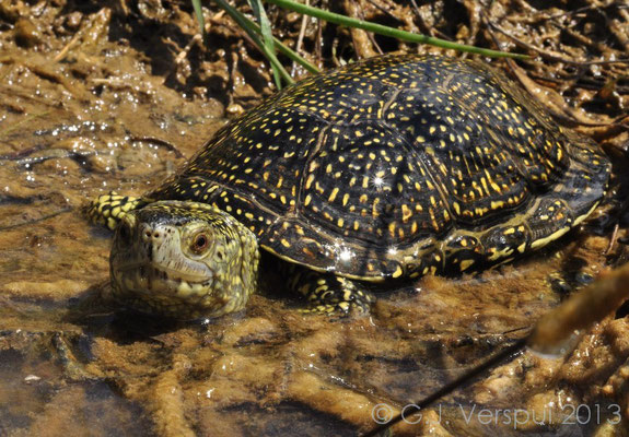 European Pond Terrapin - Emys orbicularis