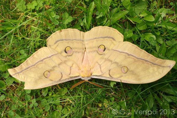 Japanese Silk Moth - Antheraea yamamai yamamai