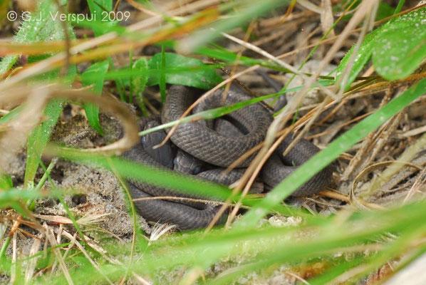 Neonate Smooth Snakes - Coronella austriaca, In Situ